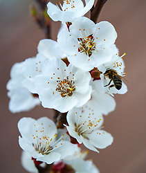 THEMENBILD - eine Biene bestäubt die Blüten eines blühenden Marillenbaumes am 18. April 2018, Kaprun, Österreich // a bee pollinates the flowers of a flowering apricot tree on 2018/04/18, Kaprun, Austria. EXPA Pictures © 2018, PhotoCredit: EXPA/ Stefanie Oberhauser