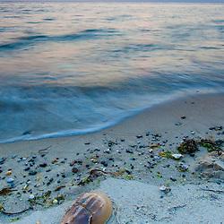 Horseshoe crab on the beach at sunet in Wellfleet, Massachusetts.  Cape Cod.