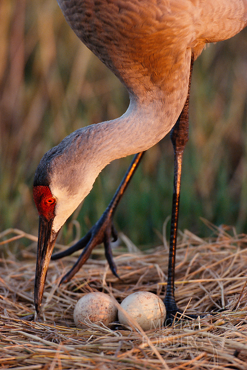 A male Florida sandhill turns eggs on the nest. Central Florida