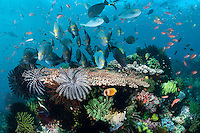 A VERY busy reef top, with Surgeonfish, Hard Corals, Crinoids, and Anthias<br /> <br /> Shot in Indonesia