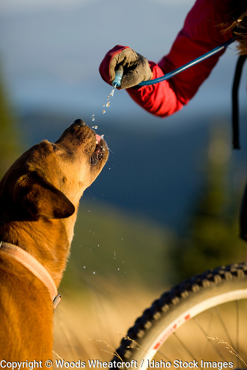 Adult woman stopping to give her dog water while mountain biking at Schweitzer Mountain resort near Sandpoint, Idaho.
