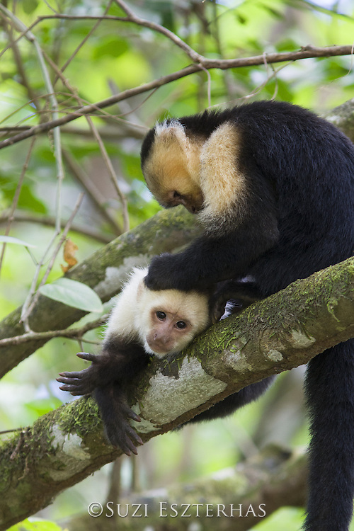 White-faced Capuchin<br /> Cebus capucinus<br /> Grooming while resting<br /> Osa Peninsula, Costa Rica