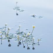 Pond Water-crowfoot (Ranunclulus Peltatus) Ranunculaceae, PNR du Livradois Forez, Etang de Marchaud, Auvergne, France