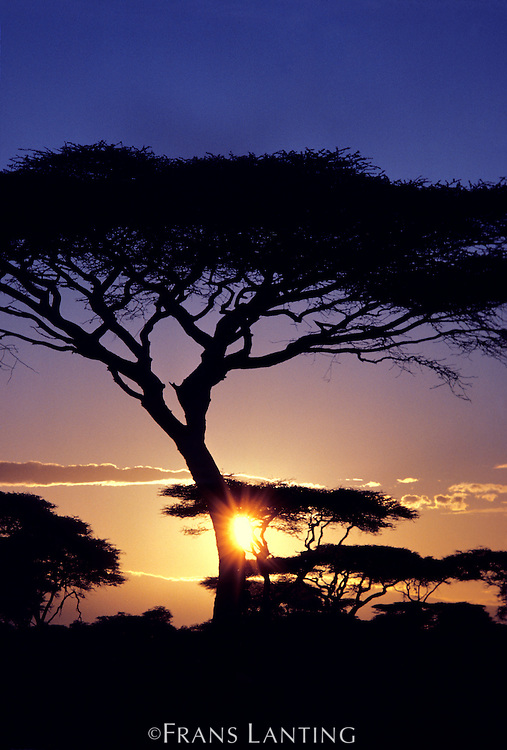 Acacia at sunset, Acacia drepanolobium, Serengeti National Park, Tanzania