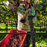 BRESSANONE, ITALY - OCTOBER 13:  A worker manually harvests Riesling grapes at Abbazia di Novacella on October 13, 2010 in Varna, Italy. Abbazia di Novacella, in Alto Adige established in the year 1142 by Augustinian monks, is one of the oldest vineries in the world; it has a production of about 400,000 bottles of world class wines including Kerner, Sylvaner, Pinot Grigio, Gewurztraminer.