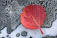 Dwarf Birch (Betula nana) leaves against lichens