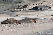 two green sea turtles, Chelonia mydas, basking on beach, warily eye a resting Hawaiian monk seal, Monachus schauinslandi ( Critically Endangered ), Pu'uhonua o Honaunau ( City of Refuge ) National Historical Park, Kona, Hawaii ( the Big Island ) Hawaiian Islands, U.S.A.