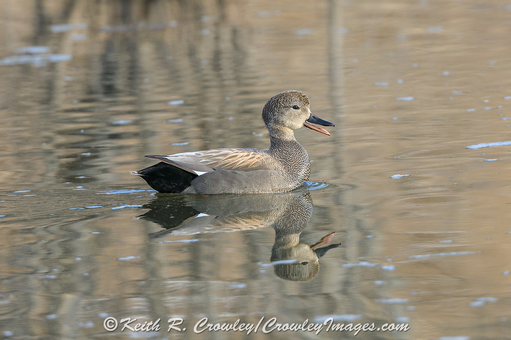 Gadwall Drake Vocalizing in Breeding Plumage
