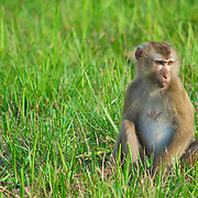 Pig-tailed Macaque  (Macaca nemestrina)sat in the grass at the edge of the rainforest, Khao Yai National Park, Thailand