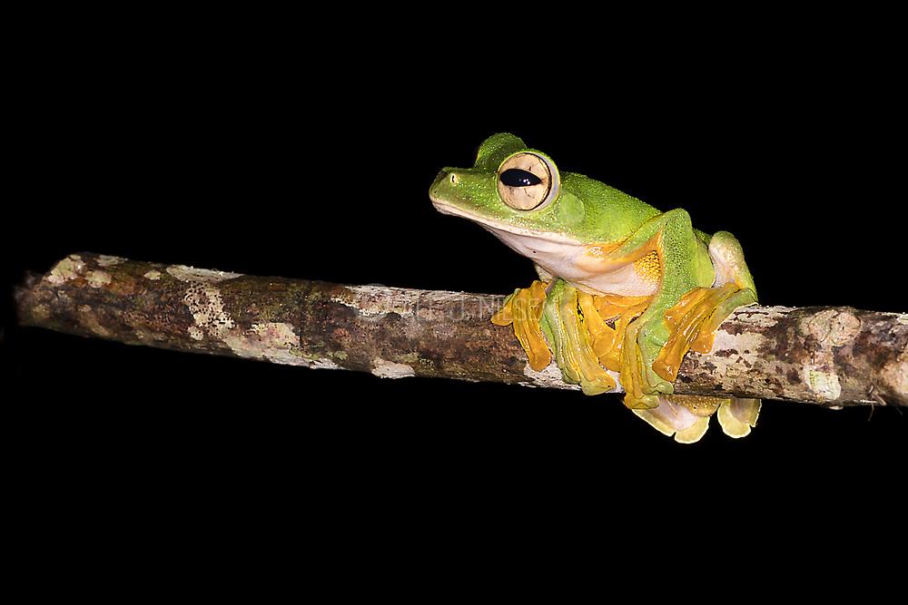 Wallace's Flying Frog ( Rhacophorus nigropalmatus) from Deramakot Forest Reserve, Borneo.
