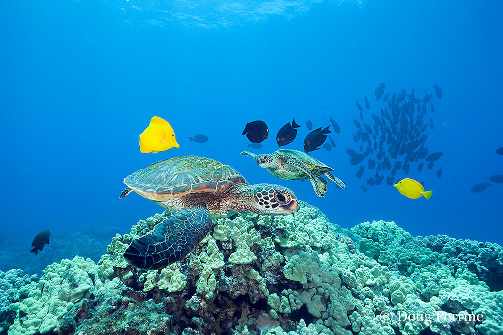 green sea turtles, Chelonia mydas ( Threatened Species ) being cleaned of algae by yellow tangs, Zebrasoma flavescens, and goldring surgeonfish, or kole tang, Ctenochaetus strigosus, with school of palani or eyestripe surgeonfish, Acanthurus dussumieri, in background, South Kohala, Kona, Hawaii ( Central Pacific Ocean )