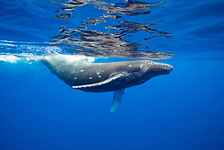 This humpback whale, Megaptera novaeangliae, has a number of circular bite marks the may be attributed to a cookie cutter shark, Hawaii.
