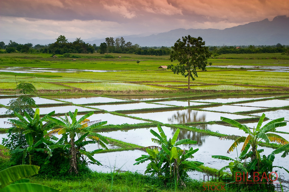 Rice field. Chiang Rai province. Thailand
