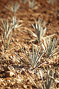 Rows of young Blue Agave, the source for tequila, growing in a farmer's field in the Jalisco State of Mexico. Tequila, Mexico.