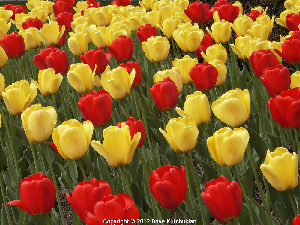 tulips, manchester,vt