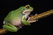 San Lucas Marsupial Frog (Gastrotheca pseustes)<br /> Andes<br /> ECUADOR, South America<br /> IUCN STATUS: Endangered<br /> RANGE: Pacific slopes of Andes of northern and central Ecuador 2300 - 4300m<br /> captive