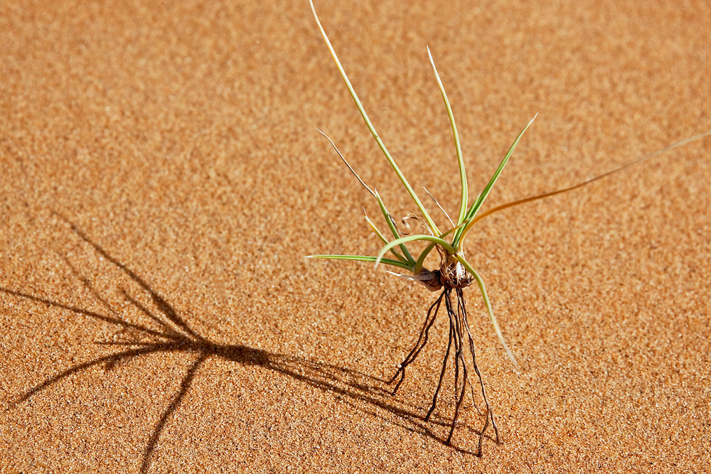 A green plant standing on its roots in desert sand. Sahara desert, Merzouga, Morocco.