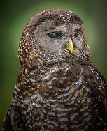 Northern spotted owls are primarily nocturnal hunters and eat flying squirrels, wood rats, mice and other small rodents. They are also known to eat birds, insects and reptiles