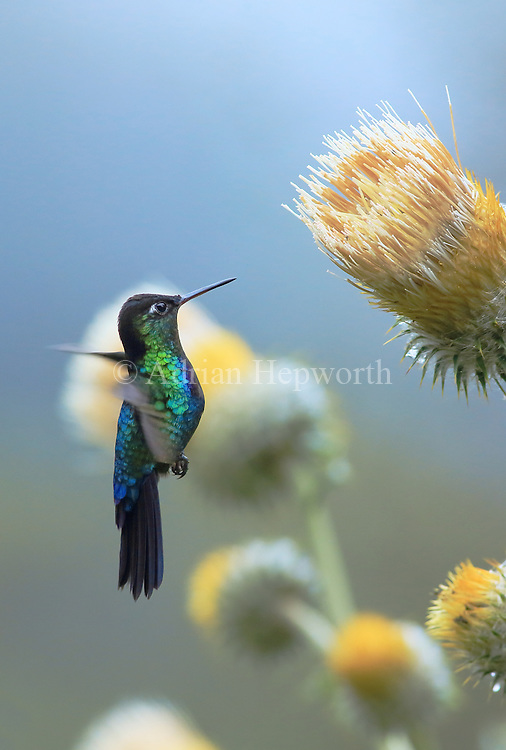 Fiery-throated hummingbird (Panterpe insignis) male feeding on plume thistle (Cirsium subcoriaceum). Cerro de la Muerte mountain range, Costa Rica. <br />
