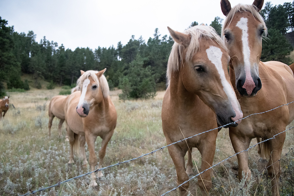 Belgian and Haflinger Horses at EZ Rocking Ranch | August 23, 2014