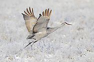 Sandhill crane lifts into flight from a field covered in frosted grass and light snow, middle Rio Grande Valley, NM. © 2011 David A. Ponton