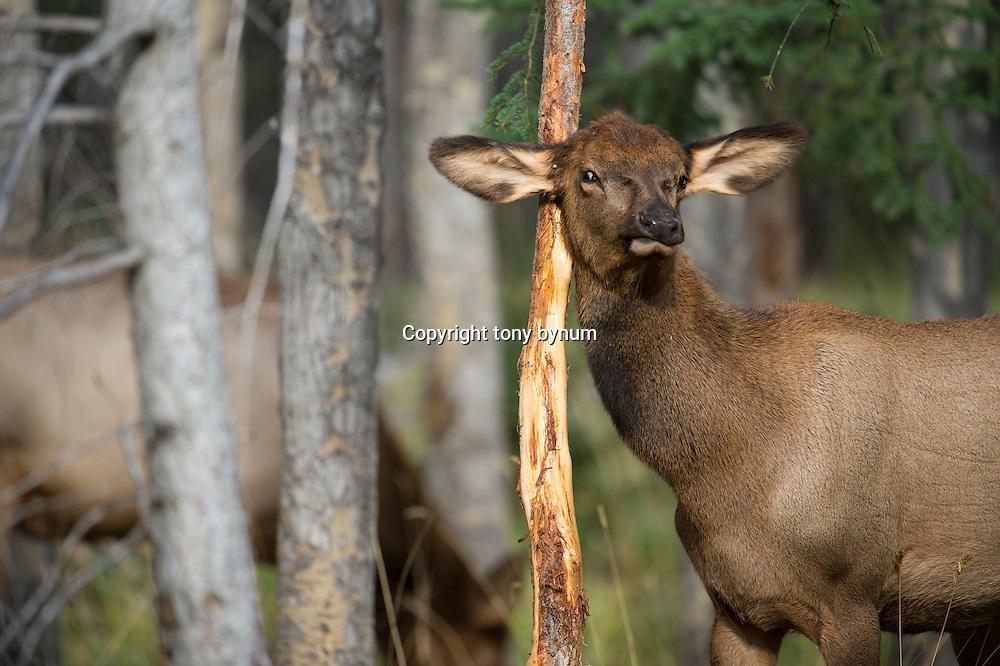 calf elk rubbing on a rubbed pine sampling