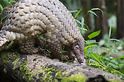 Sunda pangolin<br /> Manis javanica<br /> Singapore Night Safari, Singapore<br /> *Captive<br /> *Photographed for Wild Wonders of China for The Nature Conservancy