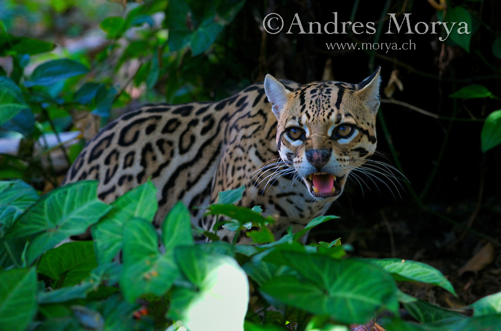 Margay Cat or tigrillo (Leopardus wiedii), is a small spotted cat native to Central and South America. This species is declining through much of its range due to human induced conversion of native forest habitats to agriculture and pasture. Image by Andres Morya