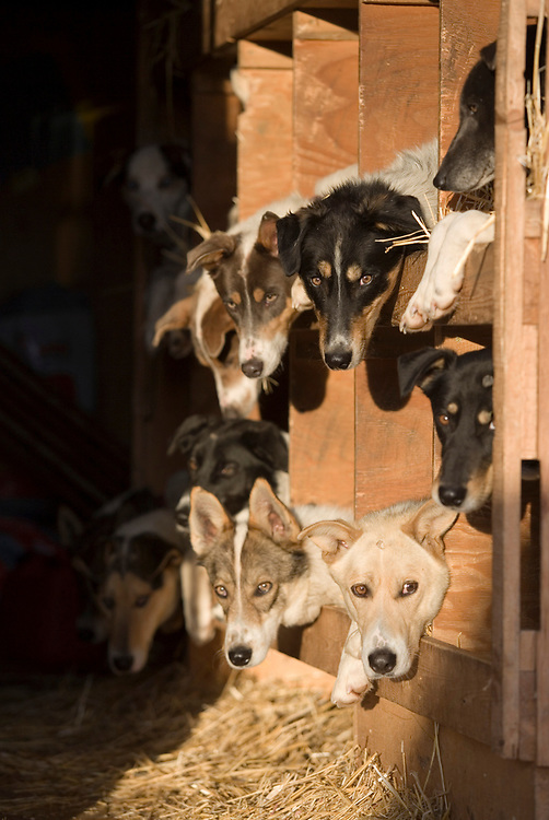 USA, Alaska, Anchorage, Morning sun lights dogs in Doug Swingley's truck along 4th Avenue before start of 2005 Iditarod sled dog race