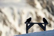 Kea (Nestor notabilis) Arthur's Pass, New Zealand | Kea oder Bergpapagei (Nestor notabilis) - Skigebiete sind immer interessant für Keas: Hier gibt es stets etwas Neues zu entdecken und die eine oder andere Nahrung fällt auch immer ab. Arthur's Pass, Neuseeländische Alpen, Neuseeland.