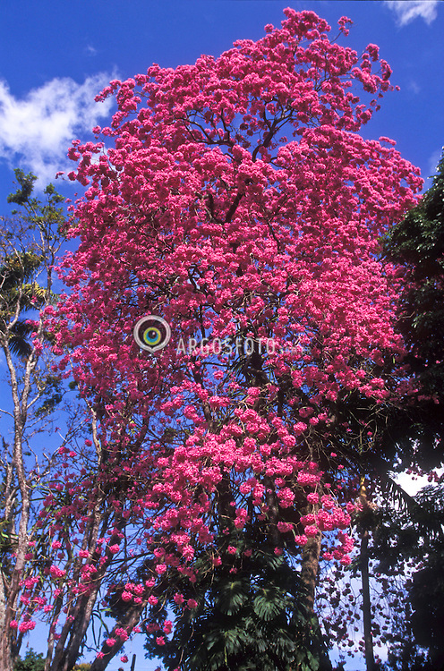 Sao Paulo; Brasil.    09/2004.Ipe rosa claro. Ipe eh a designacao comum de diversas arvores do genero Tabebuia da familia Bignoniaceae. Por sua beleza e pela ampla distribuicao geografica, o ipe era considerado a arvore nacional brasileira./ Tabebuia is a Neotropical genus of about 100 species in the tribe Tecomeae of the family Bignoniaceae. This tree was considered the national tree of Brazil..Foto © Marcos Issa/Argosfoto