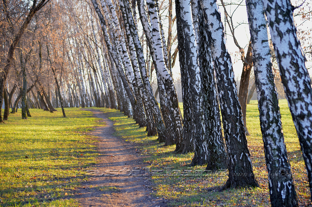A path lined with birch trees in autumn (Fall).