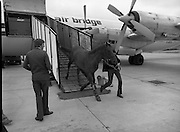 "Shergar At Dublin Airport.   (N82)..1981..25.06.1981..06.25.1981..25th June 1981..With the Irish Sweeps Derby being run on Saturday, ""Shergar"",the race favourite arrived at Dublin Airport today. the Sweeps Derby will be held on the Curragh Racecourse, Co Kildare. Shergar is owned by the stables of the Aga Khan..A travelling companion for Shergar is unloaded from the aircraft at Dublin Airport, aeroplane"