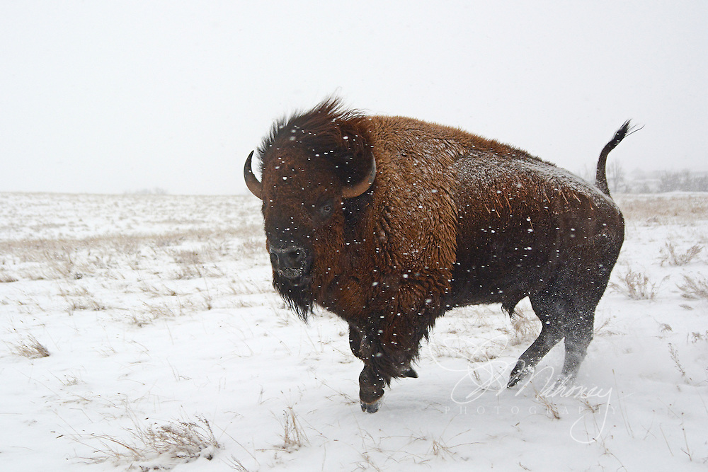 The cold and frigid temperatures of a South Dakota winter don't slow down this buffalo herd bull.  He seems to dance across the snow but his upright tail gives warning to all as he approaches, a sign that danger is close.