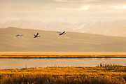 Swans in Montana flying near Red Rock lakes.