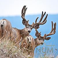 two velvet mule deer bucks on skyline