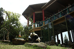 September 29, 2018 - Bogor, West Java, Indonesia - The male Giant Panda Cai Tao paly near his gift during the commemoration of the 1st Anniversary of Two Giant Panda in Indonesia held by Taman Safari Indonesia in Bogor, West Java, on Saturday, september 29, 2018. Taman Safari Indonesia (Safari Park Indonesia) stated thatb for one year existance in Indonesia, the two Giant Panda, Cai Tao (M) and Hu Chun (F) are in good health, agile and gain weight. (Credit Image: © Aditya Irawan/NurPhoto/ZUMA Press)