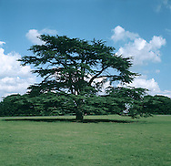 Cedar of Lebanon Cedrus libani (Pinaceae) HEIGHT to 40m <br /> Mature tree is flat-topped with immense trunk in old trees. BARK Dark grey, fissured and ridged, becoming dark brown in very old trees. BRANCHES Main ones are massive and ascending; smaller, lateral branches level, supporting flat plates of foliage. LEAVES Needles, to 3cm long, usually in clusters of only 10–15 on short shoots, singly if growing on long shoots. REPRODUCTIVE PARTS Male cones greyish or blue-green and erect, to 7.5cm long. Mature female cones are solid, ovoid, to 12cm long and 7cm across, ripening from purple-green to brown. STATUS AND DISTRIBUTION Native of mountain forests of E Mediterranean; widely planted here in parks and gardens since 1640.