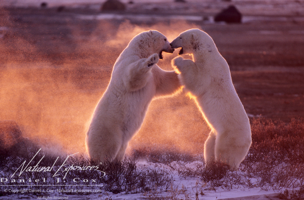 Polar Bear (Ursus maritimus) wrestling in Churchill, Manitoba, Canada.