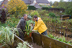 Lifting Agave america 'Variegata' into coldframe