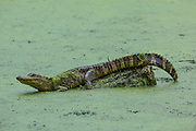 Alligator adolescent restinf on log in duckweed