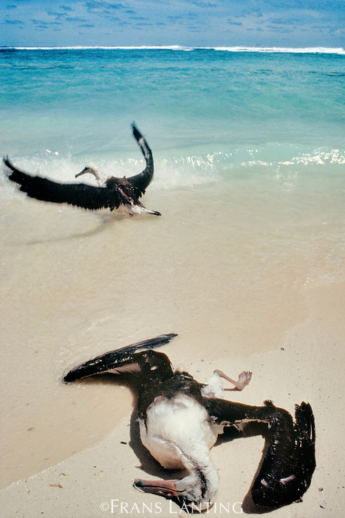 Laysan albatross juvenile, dead after becoming waterlogged, Phoebastria immutabilis, as another learns to fly, Hawaiian Leeward Islands