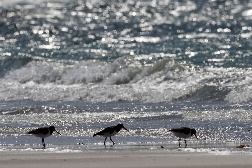 Oystercatchers (Haematopus ostralegus) on shoreline, RSPB Balranald nature reserve, ,North Uist, Scotland.