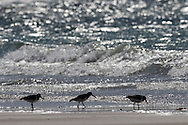 Oystercatchers (Haematopus ostralegus) on shoreline, RSPB Balranald nature reserve, ,North Uist, Scotland.