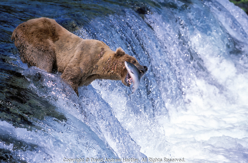 A Coastal Brown Bear (Ursus arctos horribilis) catches a spawning Sockeye Salmon (Oncorhynchus nerka), Brooks Falls, Katmai National Park, Alaska.