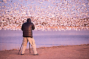 Snow Geese, Chen caerulescens, Ross's Geese, Chen rossii, & photographer, Bosque del Apache NWR, New Mexico