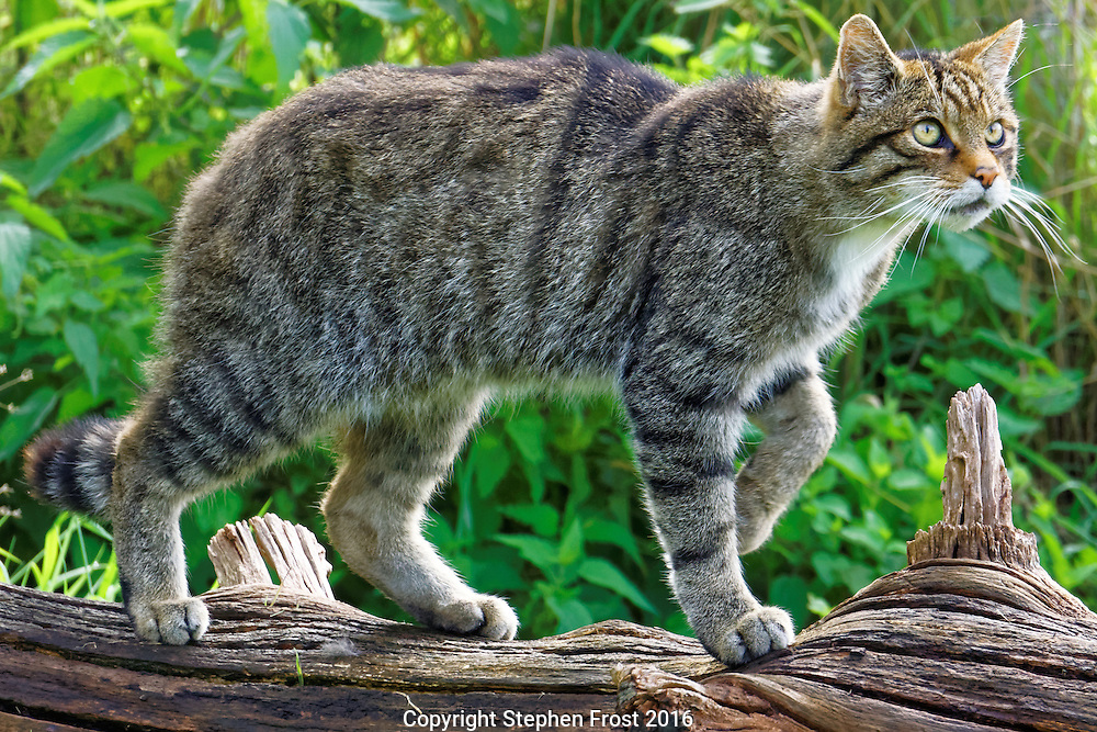 Bigger than a domestic cat and fiercely independent, the Scottish wildcat, Felis silvestris silvestris, also known as the European wildcat, is an endangered subspecies of wildcat that mainly inhabits forests.
