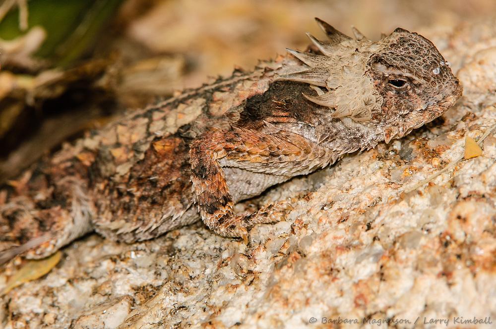 Regal Horned Lizard [Phrynosoma solare]; Tucson Sonoran Desert Museum, Arizona
