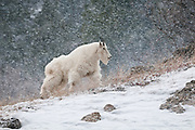 Mountain goat moving across a ridge during a winter snow storm in the Snake River Canyon of western Wyoming.