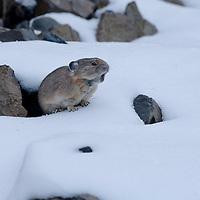 Pika in the snow. Hyalite Canyon, near Bozeman, Montana.
